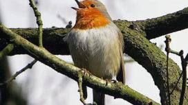 Vogelwandeling-boswachter-e1524141474335-272x153.jpg