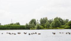 ouderkerkerplas-watervogels-240x140.jpg